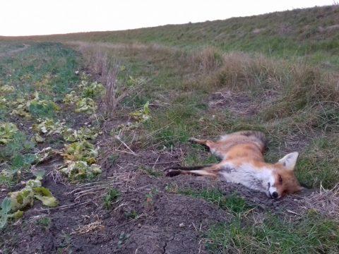 Otrávená líška, Tvrdošovce, foto Jozef Lengyel